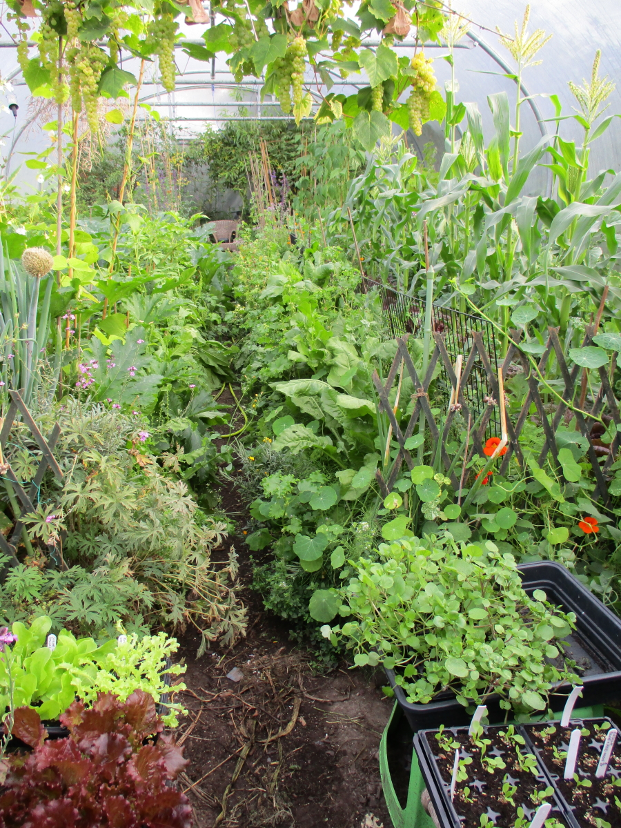 Early September polytunnel. Abundant summer crops overlapping with autumn seedlings and plants ready for potting on or planting in progression, as space becomes free