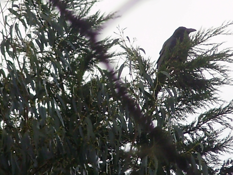 1. The unmistakable shape of a Raven sitting at the very top of a Leylandii tree