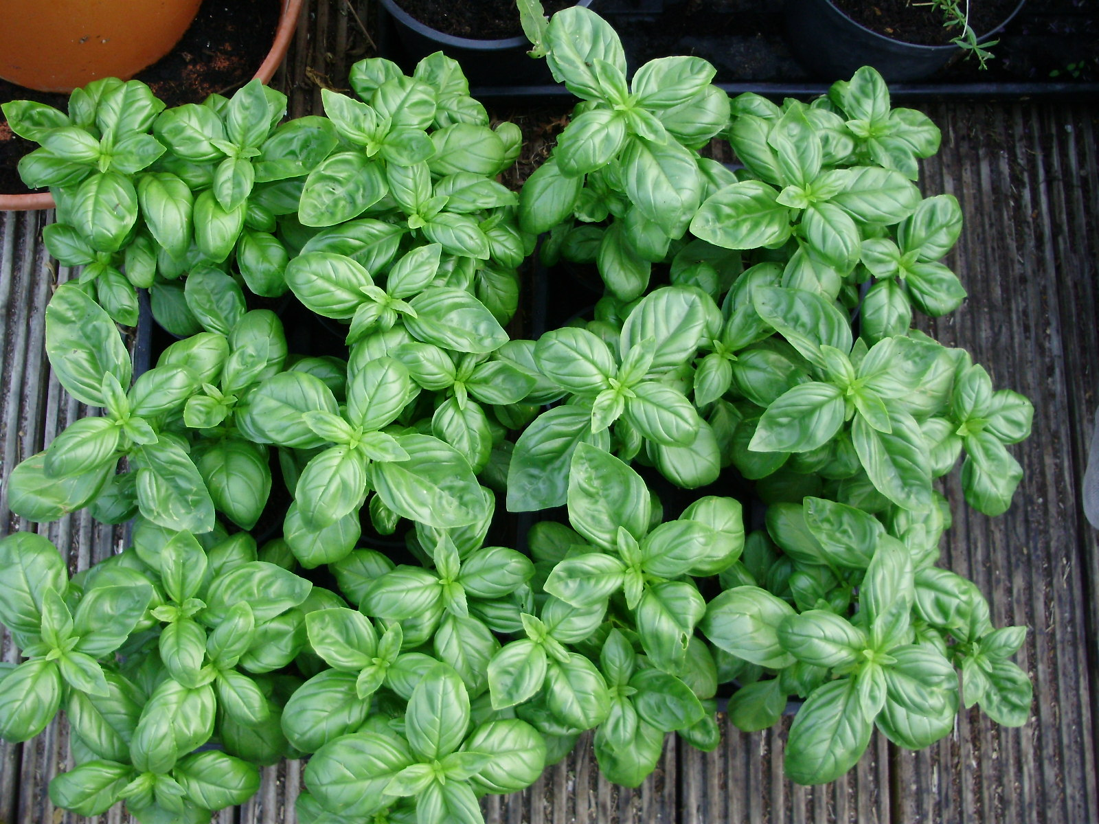 10. You now have 12 new full pots of basil from 3 originally - ready to plant out