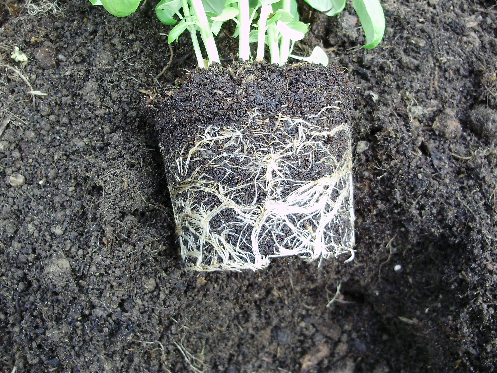 11. Pot nicely filled - roots ready to explore further