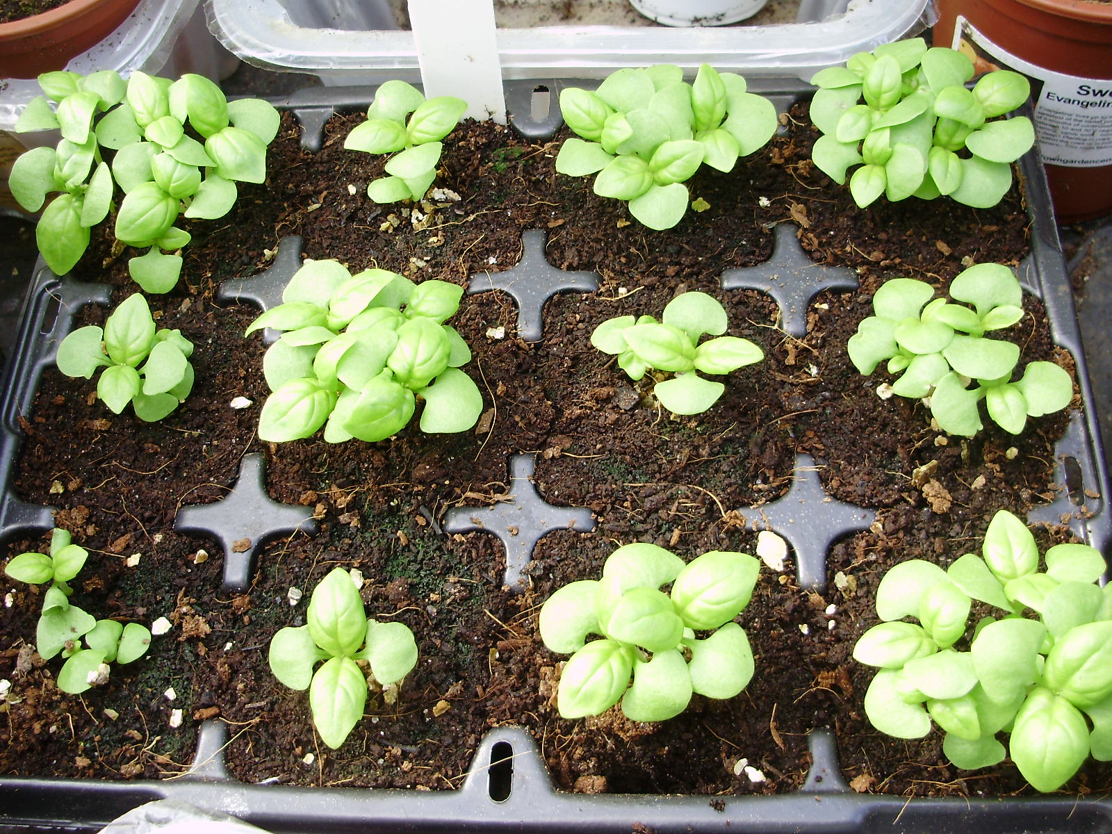 14. Basil seedlings sown in organic compost mid April. Pictured 3 weeks later ready for potting on