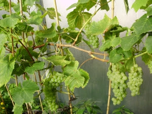 Grape 'Perlette' - (a seedless variety)