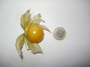 Cape gooseberry - a comparison with €1 coin