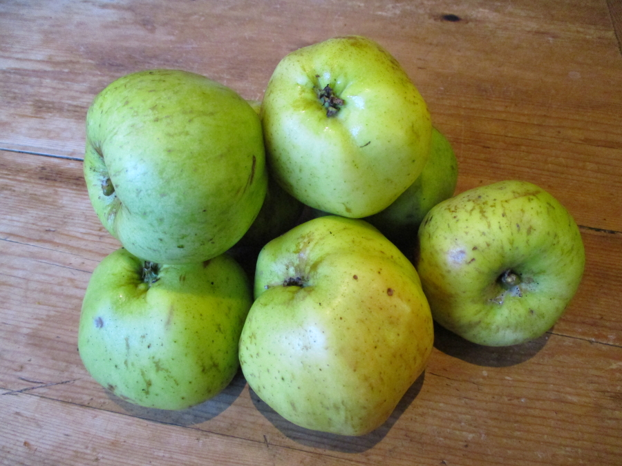 Grenadier windfalls. An excellent pollinator for other apples and one that no orchard large or small should be without.