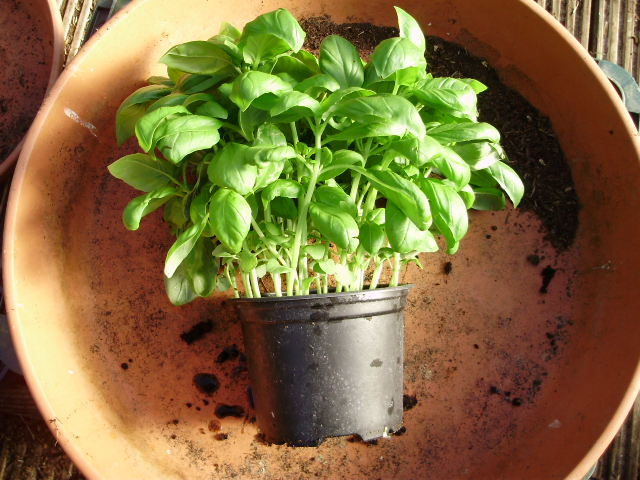 1. A nice pot of healthy basil, plenty full enough & ready to split