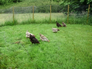 1. Hens enjoying looking for juicy bugs in one of their large grass runs