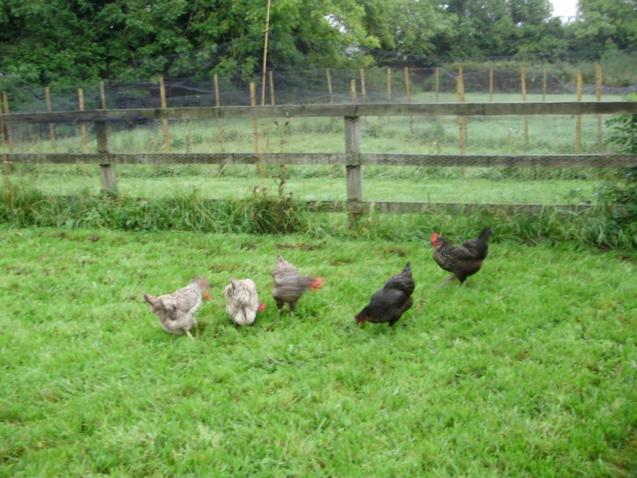Hens enjoying a fresh run. You can see 4 of their 7 runs radiating clockwise from here, the other 3 are to right of picture