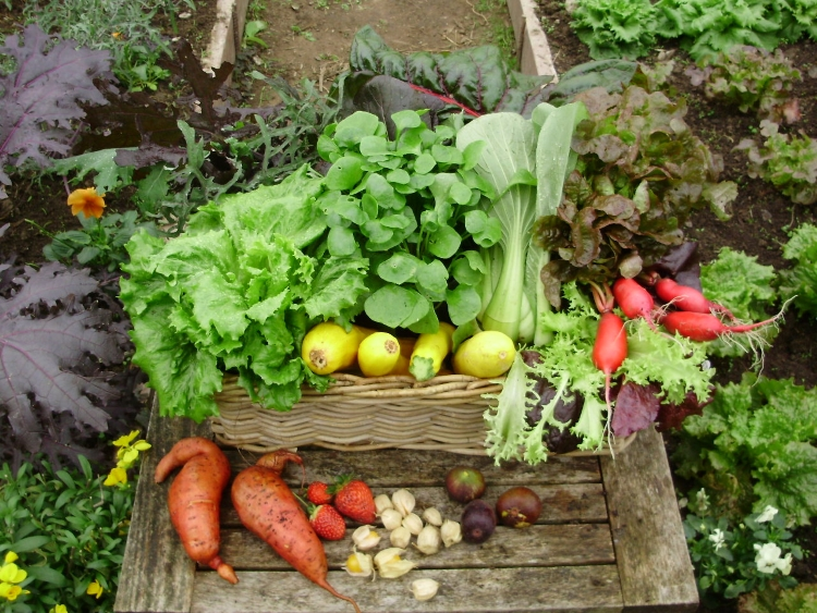 A basket of colourful phytonutrient-rich produce picked early in the morning from my polytunnel (1)