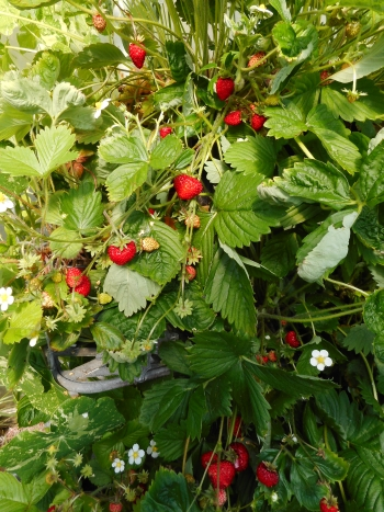 Alpine strawberry Reugen already cropping well on my 'stepladder garden'