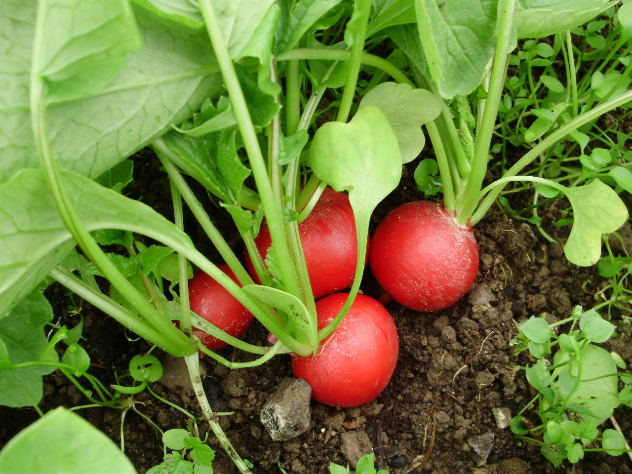 Radish 'Rudi' crunchy, delicious & easy to grow
