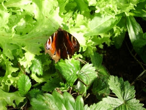 Peacock butterfly on endive in tunnel early last year. Many butterflies, moths, bees etc. are becoming increasingly rare due to pesticides.