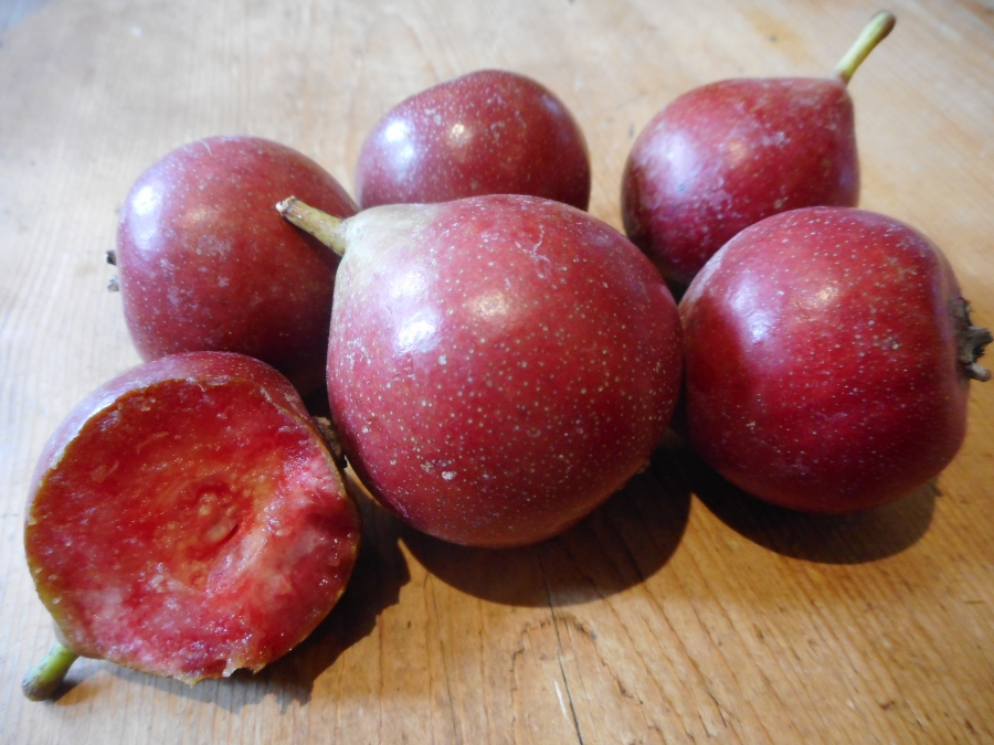 Pyrus communis 'Blood Pear' - an historic treasure rediscovered!