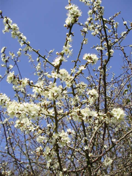 Blackthorn blossom against an intensely blue sky