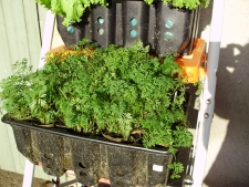 Carrots growing in a recycled mushroom box on one of the steps
