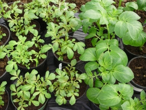 Pot grown potatoes 'Mayan Gold' & 'Lady Christl' - mid Feb. in tunnel - almost ready for planting.