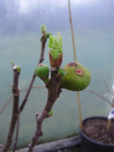 Fig 'Rouge de Bordeaux' - this year's small embryo fruits clearly visible