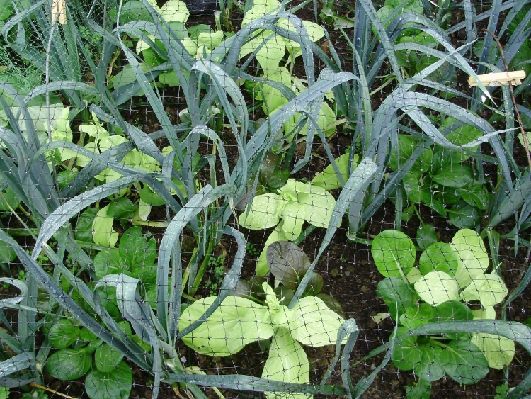 Leeks interplanted with Pak Choi -  keep soil covered, protecting the surface & stopping nutrients from leaching in heavy rain
