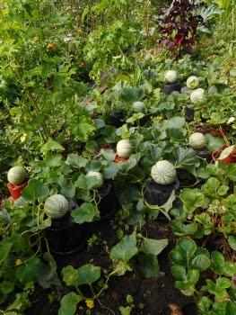 Melons raised on pots ripening