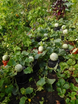Melons place on upturned pots in order to stop them rotting on damp ground or being eaten by slugs - and also to help ripen them