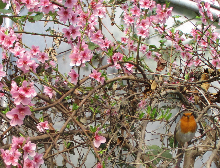 My Robin friend on his favourite perch among the peach blossom - what a happy spring sight!