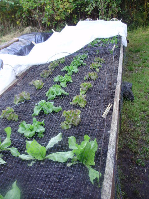 Lettuces in the well-drained raised beds are safe from pigeons under the netting and protected from frost on cold nights.