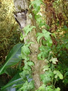 Hedera 'Dragon's Claw' climbing up a dead Tetrapanax stem in the Jungle garden