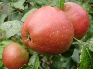 Old Pearmain - one of the oldest varieties, known in UK & France since 1200. Picked Oct., ripens Dec, keeps until March