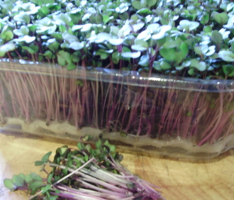 Pink kale seedlings - fast-growing, nutritious microgreens for winter salads.