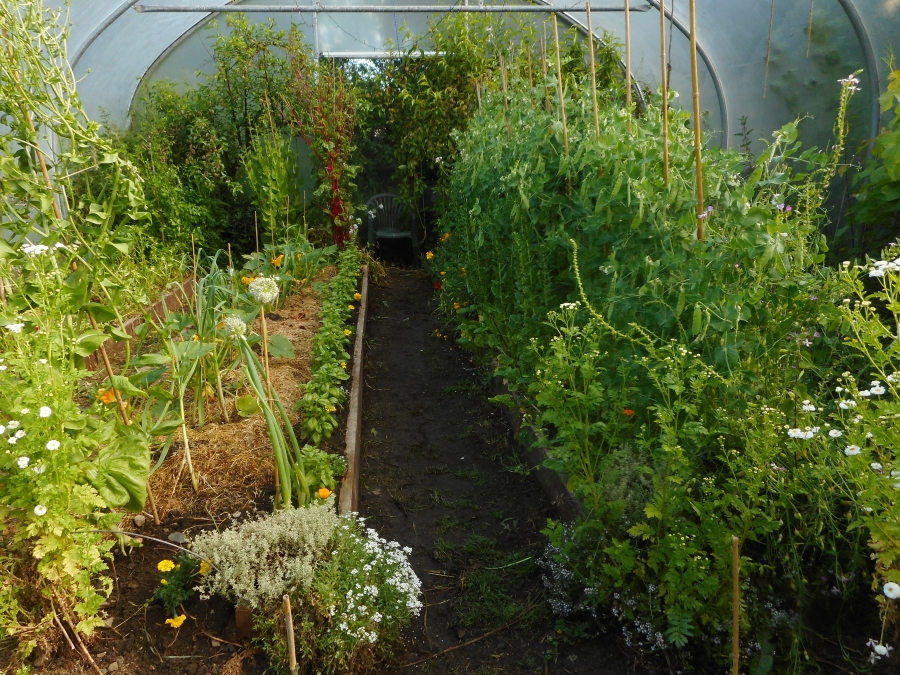 Polytunnel 7th June - lots done - but some catching up to do!
