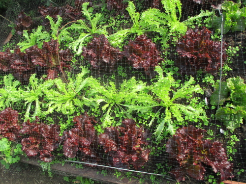 Red lettuce Strikeforce and endive White Curled looking as colourful as any carpet bedding scheme!