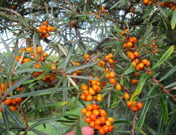 The Sea Buckthorn bushes are loaded and starting to ripen their super-nutritious berries