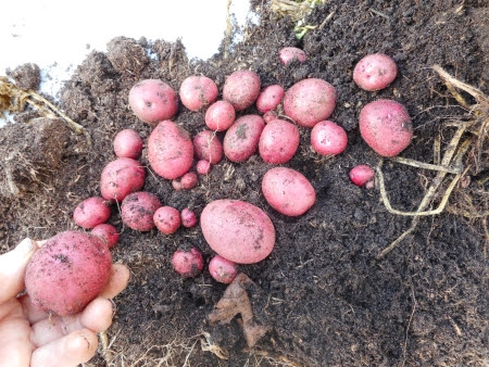 Red Duke of York - planted in pots in mid-August to give us some delicious new potatoes for Christmas