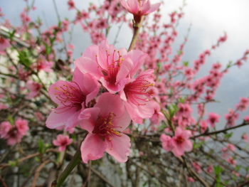 The glorious sight of pollinated peach blossom - dark pink staining inside the flowers showing they have been pollinated