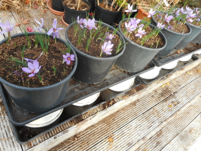 Mouse-proof Saffron growing in tubs on grow bag trays resting on upturned buckets sitting in water in grow bag trays - mice hate water!