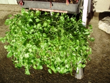 Watercress is very happy and productive in a large box in consistently damp soil